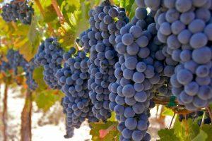 merlot-grapes
